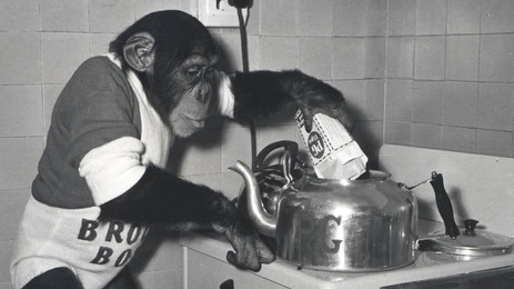 Molly's chimp c.1960s - performing as part of the Brooke bond roadshow, wearing a white Brooke Bond jumpsuit tipping PG Tips tea into tea pot. Tea pot has the letters 'PG' engraved onto the front.